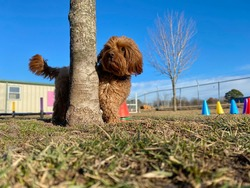 Mini red and brown golden doodle with adorable furry face peeking around the maple tree trunk at the canine enrichment boarding and training center on a nice sunny day with blue skies