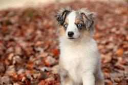 Miniature Aussie Puppy in Autumn Scene