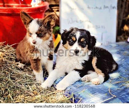 Miniature Australian Shepard Puppies
