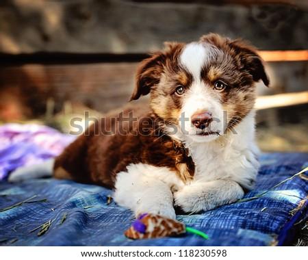 Miniature Australian Shepard Puppy