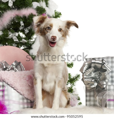 Miniature Australian Shepherd puppy, 1 year old, with Christmas tree