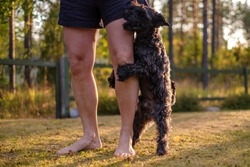 Miniature black schnauzer dog humping or mounting on owner leg. Bad behavior of puppy.