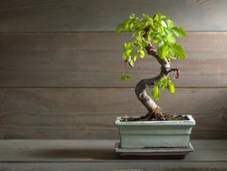 miniature bonsai tree Chinese elm.