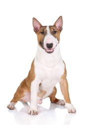 Miniature bull terrier dog sits on a white background