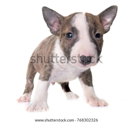 miniature bull terrier in front of white background #768302326