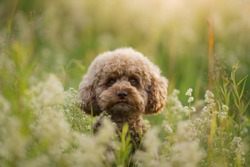 miniature chocolate poodle on the grass. Pet in nature. Cute dog like a toy