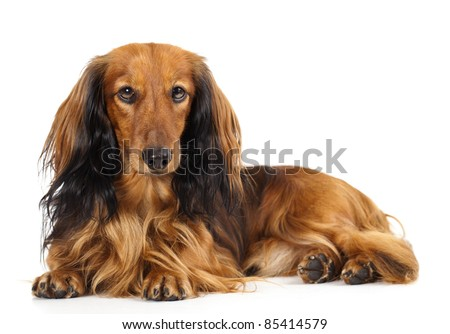 Miniature dachshund longhaired and dachshund