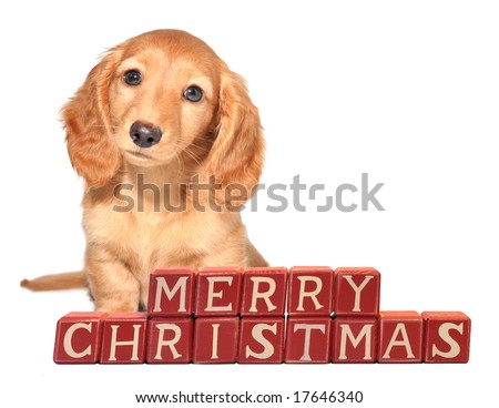 "Miniature dachshund puppy seated in front of ""Merry Christmas"" blocks."