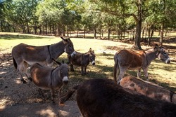 Miniature donkeys Equus asinus on a farm in South Africa.