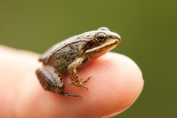 Miniature frog sitting on a Human Finger (index) so we can see how small the frog is