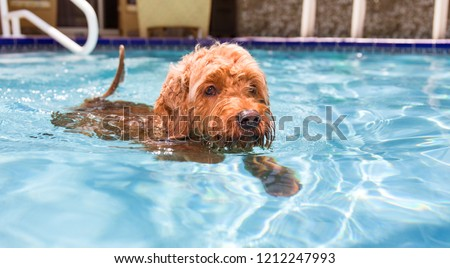 miniature golden doodle dog swimming in a pool #1212247993
