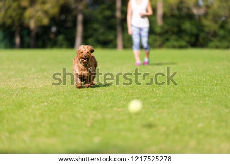 Miniature Goldendoodle playing fetch in an open park #1217525278