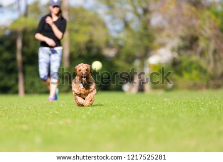 Miniature Goldendoodle playing fetch in an open park #1217525281