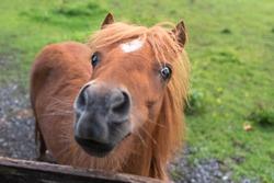 Miniature horse. Young appaloosa stallion on green grass in gard