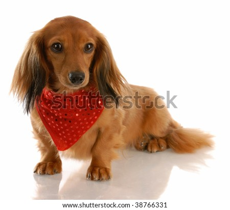 long haired dachshund photos. long haired dachshund dog
