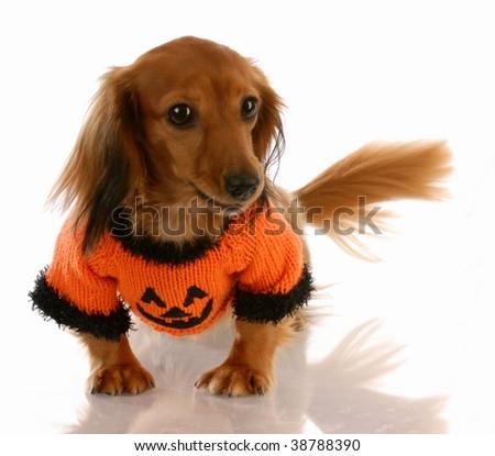 miniature long haired dachshund puppies. mini long haired dachshund