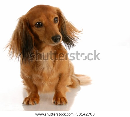 miniature long haired dachshund puppies. stock photo : miniature long