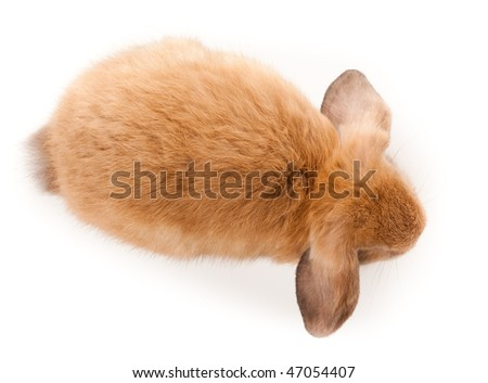 miniature lop  rabbit. it is...