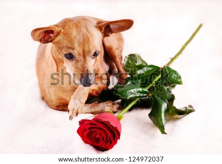 Miniature Pinscher dog and red rose