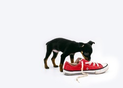 miniature pinscher dog playing with old red sneakers. Concept of undomesticated dog, messy pet
