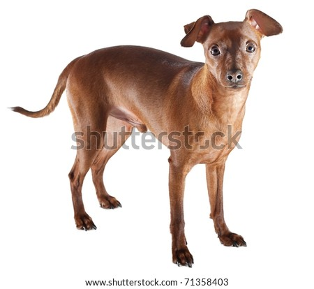 Miniature pinscher isolated on white background. - stock photo