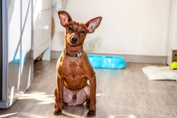 Miniature Pinscher looking straight at the camera.