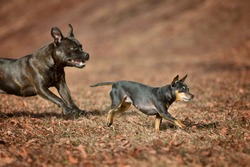 Miniature Pinscher Prager Rattler Prague Ratier were bred in Czechoslovakia for the rat's hunt and are enormously quick and agile. Running in leafs