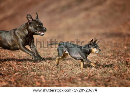 Miniature Pinscher Prager Rattler Prague Ratier were bred in Czechoslovakia for the rat's hunt and are enormously quick and agile. Running in leafs Stock fotó ©