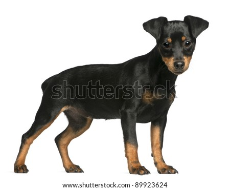 Puppies on Miniature Pinscher Puppy  5 Months Old  Standing In Front Of White