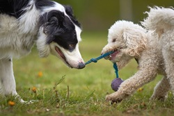 Miniature poodle and border collie sheep dog play tug of war with a ball on a string rag toy. fun close up