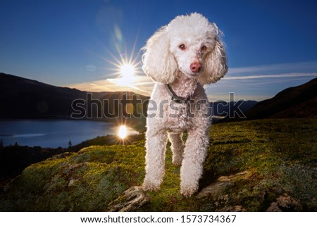 Miniature Poodle Dog Standing on Cat Bells Fell overlooking Derwentwater in Keswick, Lake District. Epic Sunrise background in magazine cover style hero image. - Image