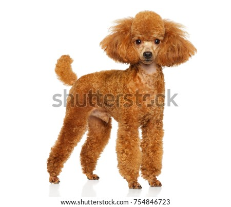 Miniature poodle in stand on white background