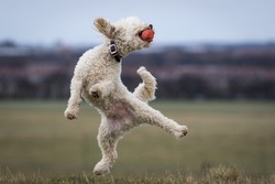 Miniature Poodle Pedigree Dog jumping onto one leg and catching ball in mouth - Kung Fu Poodle. Epic background, magazine cover or website slider style hero image.