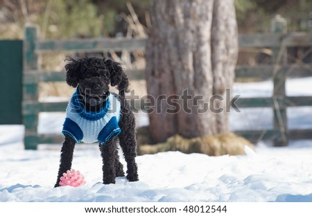 Miniature Poodle plays outside in the snow with his ball.  He is wearing his invisible fencing collar for safety.