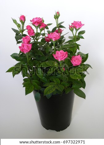 Miniature red roses for home garden and room. Pink rose plant in a black pot on a white background. Gift for women and family. #697322971