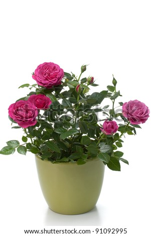Miniature Rose house plant in flower pot