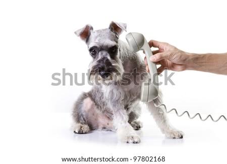 Miniature schnauzer afraid of the phone