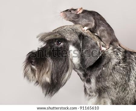 miniature schnauzer and  rat