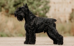 miniature schnauzer black stay dog show exterior