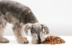 Miniature schnauzer dog eating dog kibble with white background