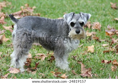 Miniature Schnauzer Dog. Miniature Schnauzer dog
