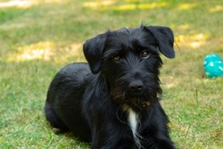 Miniature Schnauzer Dog on lawn looking at camera with tilted head