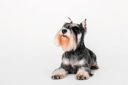 Miniature Schnauzer dog on the white background