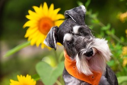 Miniature schnauzer dog posed with bright yellow and orange sunflowers. Pup is wearing coordinated orange scarf.