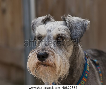 Miniature schnauzer dog standing in front of a neutral background.