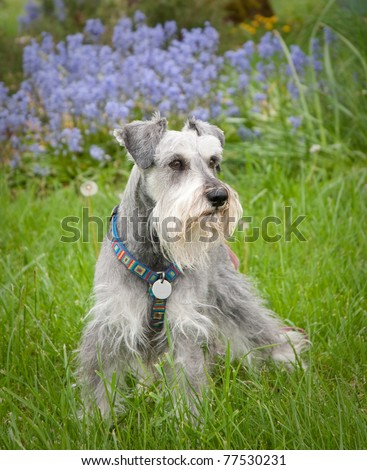 Miniature schnauzer dog standing in the green grass purple flowers in background