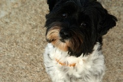 Miniature schnauzer dog with adorable brown eyes, posing. High quality photo