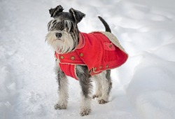 miniature schnauzer in the snow wearing red overalls.