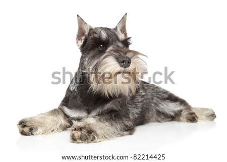 Miniature schnauzer lying on white background