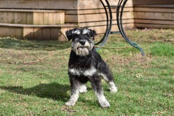 Miniature schnauzer 8 month old puppy playing outside